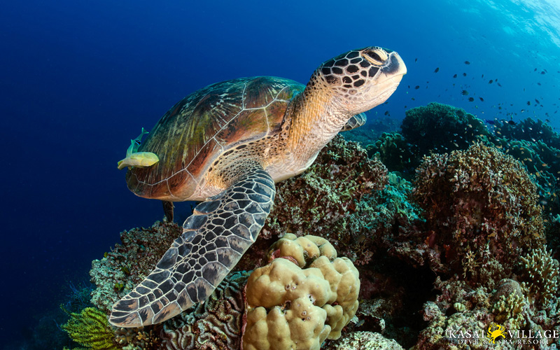 Green Turtle From Kasai House Reef
